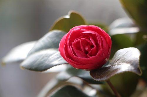 camellia-flower-1318166__340