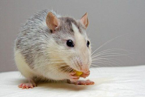 rat-440987__340